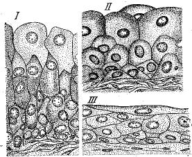 Рис. 4. Переходный эпителий мочевого пузыря кролика