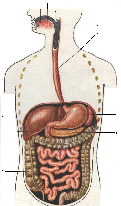 органы пищ