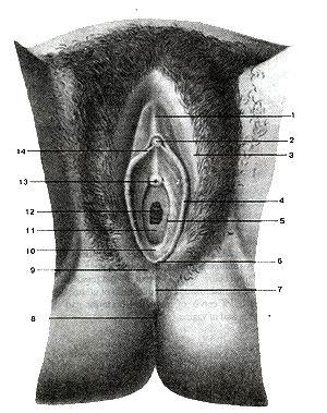 Рис. 233. Женские наружные половые органы. 1-крайняя плоть клитора; 2-головка клитора; 3-большая половая губа; 4-малая половая i-уба; 5-отверстие протока большой железы преддверия; 6-уздечка половых iy6; 7-задняя спайка губ; 8-задний проход (анус); 9-промежность; IO-ямка преддверия влагалища; 11-девственная плева; 12-отверстие влагалища; 13-наружное отверстие мочеиспускательного канала; 14-уздечка клитора. Fig. 233. Женские наружные половые органы. 1-preputium clitoridis; 2-glans clitoridis; 3-labium maijus pudendi; 4-labiuin minus pudenda; 5-ductus glandulae vestibularis majoris; 6-t'renulum labiorum pudenda; 7-commissura labiorum pudenda (majoris); 8-anus; 9-perineum; 10-fossa vestibuii vaginae; 11-hymen; 12-ostium vaginae; 13-ostium urethae externum; 14-frenulum cli-(oridis. Fig. 233. External male genital organs. 1-prepuce of clitoris; 2-glans of clitoris; 3-Iabium majus; 4-labium minus; 5-opening of greater veslibular gland; 6-frenulum ol'pudendal labiuin; 7-posterior commissure (of labium majus); 8-anus; 9-perineum; 10-vestibular fossa; 11-hymen; 12-vaginal orifice; 13-extemal urethral opening; 14-frenulum of clitoris.