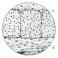 Рис. 13. Гладкая мышечная ткань