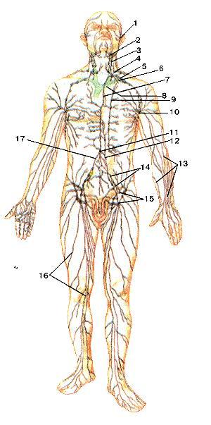 Рис. 247. Схема строений лимфатической системы человека. 1-лимфатическке сосуды лица; 2-поднижнечелюстные лимфатические узлы; 3-латеральные шейные лимфатические узлы; 4-левый яремный ствол; 5-левый подключичный ствол; 6-подклю-чичная вена; 7-грудной проток; 8-левая плечеголовная вена; 9-околофудинные лимфатические узлы; 10-подмышечные лимфатические узлы; 11-цистерна грудного протока; 12-кишечный ствол; 13-поверхностные лимфатические сосуды верхней конечности; 14-общие и наружные подвздошные лимфатические узлы; 15-поверхностные паховые лимфатические узлы; 16-поверхност-ные лимфатические сосуды нижней конечности; 17-правый поясничный ствол. Fig. 247. Схема строений лимфатической системы человека. 1-nodi lymphatici faciei; 2-nodi lymphatici submandibulares; 3-nodi lymphatici cervicales laterales; 4-truncus jugularis sinister; 5-truncus subctavius' sinister; 6-vena subclavia; 7-ductus thoracicus; 8-vena brahiocephalicasinistra; 9-nodi lymphatici parasternales; 10-nodi lymphatici axillares; 11-cisterna chyli; 12-truncus intestinalis; 13-vasa lymphatica superticialia membri superioris; 14-nodi lymphatici iliaci communes et externi; 15-nodi lymphatici inguinales superficiales; 16-vasa lymphatica superficialia membri inferioris; 17-truncus lumbalis dexter. Fig. 247. Scheme of the structure of the lymphatic system of the human. 1-lymphatic vessels efface; 2-submandibular lymph nodes; 3-lateral cervical lymph nodes; 4-left jugular trunk; 5-left subclavian trunk; 6-subclavian vein; 7-thoracic duct; 8-left brachiocephalic vein; 9-paras-tennal lymph nodes; 10-axillary lymphatic nodes; 11-cisterna chyli; 12-intestinal trunk; 13-superficial lymphatic vessels of upper limb; 14-c6mmon and external iliac lymph nodes; 15-superficial inguinal lymph nodes; 16-superficial lymphatic vessels of lower limb; 17-right lumbar trunk.