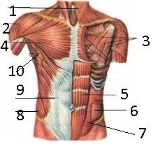 C:\Users\1\Desktop\анатомия\мышцы груди и живота.jpg