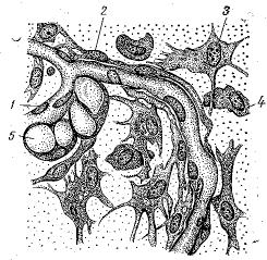 Рис. 5. Рыхлая неоформленная соединительная ткань подкожной клетчатки кролика