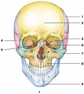 череп вид спереди.jpg