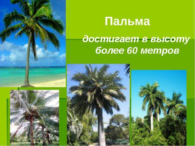 Пальма достигает в высоту более 60 метров