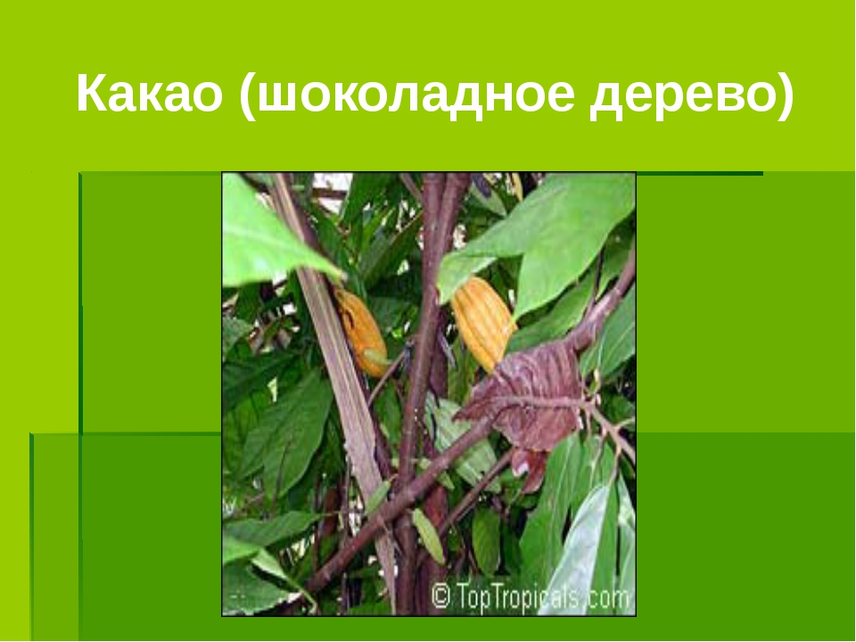 Какао (шоколадное дерево)