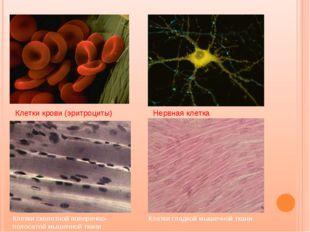 Клетки крови (эритроциты) Нервная клетка Клетки скелетной поперечно-полосатой