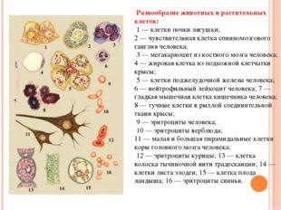 Разнообразие животных и растительных клеток: 1 — клетки почки лягушки; 2 — ч