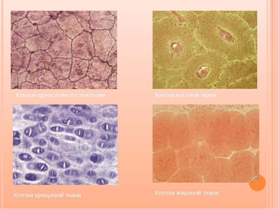 Клетки однослойного эпителия Клетки костной ткани Клетки хрящевой ткани Клетк...