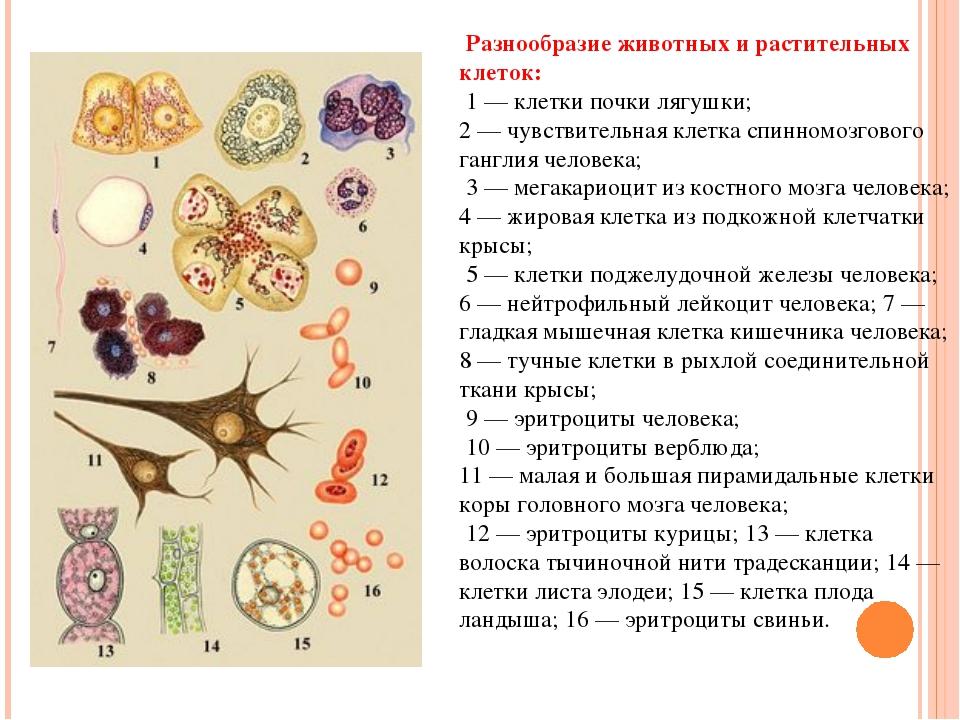 Разнообразие животных и растительных клеток: 1 — клетки почки лягушки; 2 — ч...