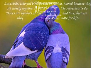 Lovebirds, colorful birds found in Africa, named because they sit closely to