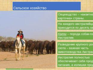 Сельское хозяйство Овцеводство – «визитная карточка» страны. Овцы мериносы На