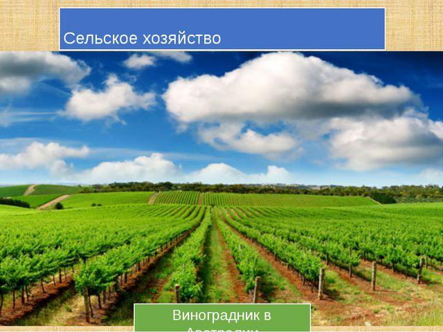 """Сельское хозяйство Виноградник в Австралии Овцеводство - """"визитная карточка""""..."""