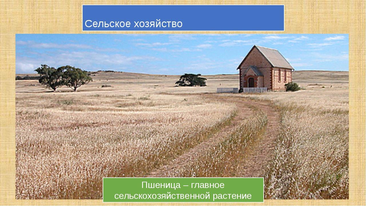Сельское хозяйство Пшеница – главное сельскохозяйственной растение Овцеводств...