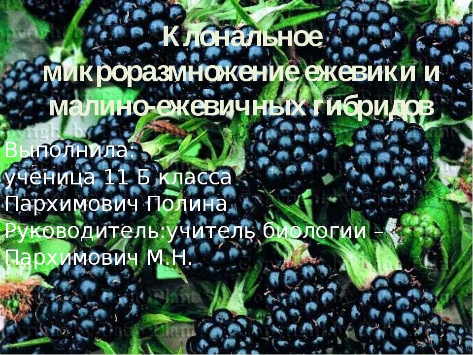 Клональное микроразмножение ежевики и малино-ежевичных гибридов Выполнила: уч...