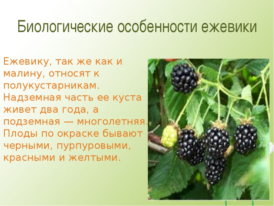 Биологические особенности ежевики Ежевику, так же как и малину, относят к пол...