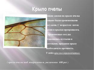 Крыло пчелы Тонкие жилки на крыле пчелы раньше были кровеносными сосудами. С