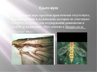 Крыло мухи У мух вторая пара крыльев практически отсутствует, она превращена