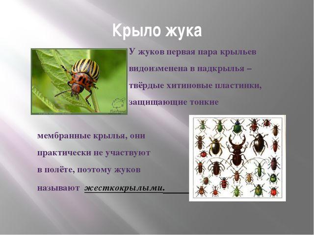 Крыло жука У жуков первая пара крыльев видоизменена в надкрылья – твёрдые хит...