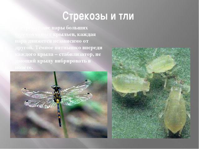 Стрекозы и тли У стрекоз две пары больших перепончатых крыльев, каждая пара д...
