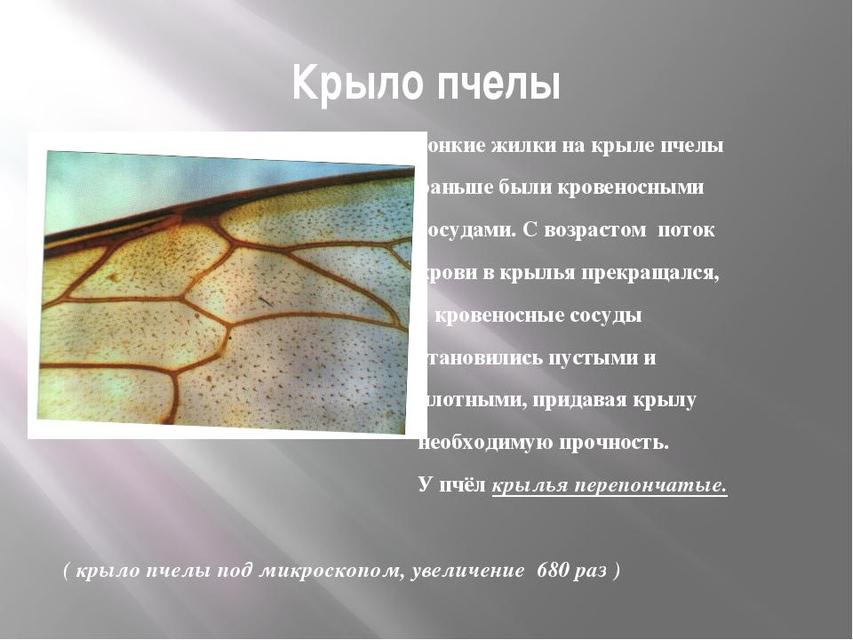 Крыло пчелы Тонкие жилки на крыле пчелы раньше были кровеносными сосудами. С...
