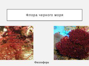 Флора черного моря Филлофора