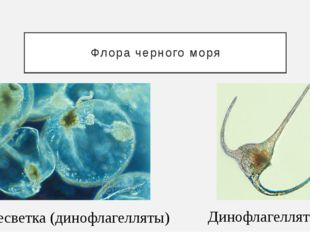Флора черного моря Динофлагелляты Ночесветка (динофлагелляты)