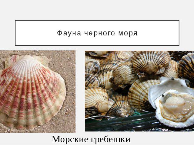 Фауна черного моря Морские гребешки