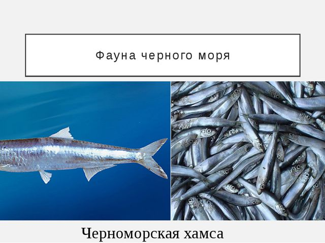 Фауна черного моря Черноморская хамса