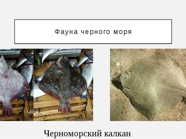Фауна черного моря Черноморский калкан