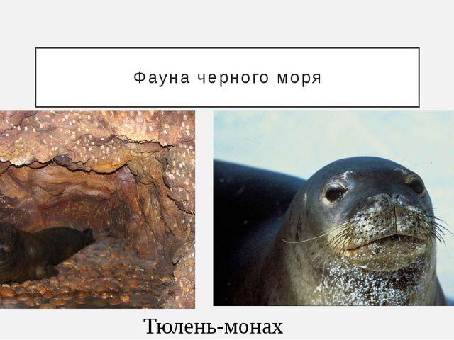 Фауна черного моря Тюлень-монах