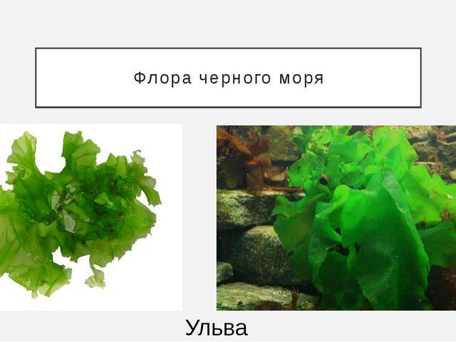 Флора черного моря Ульва