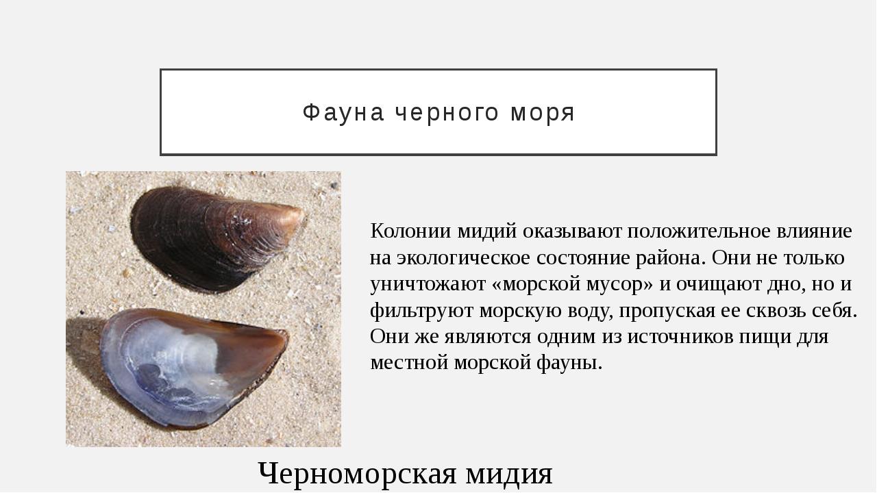 Фауна черного моря Черноморская мидия Колонии мидий оказывают положительное в...
