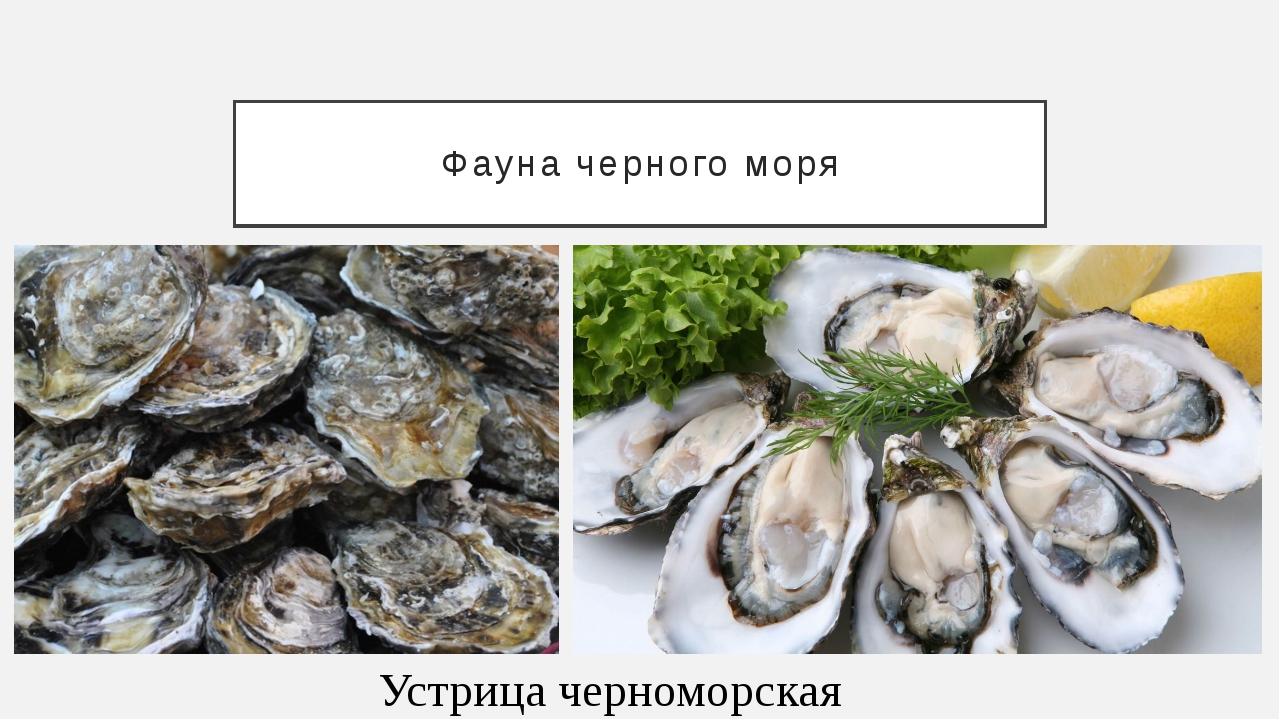 Фауна черного моря Устрица черноморская