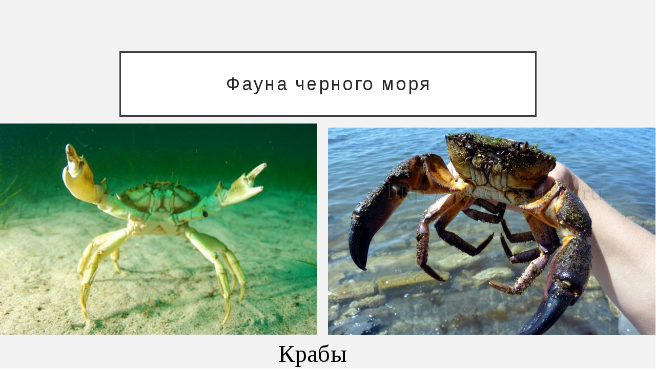 Фауна черного моря Крабы