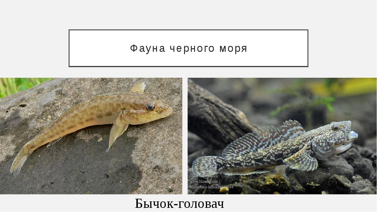 Фауна черного моря Бычок-головач