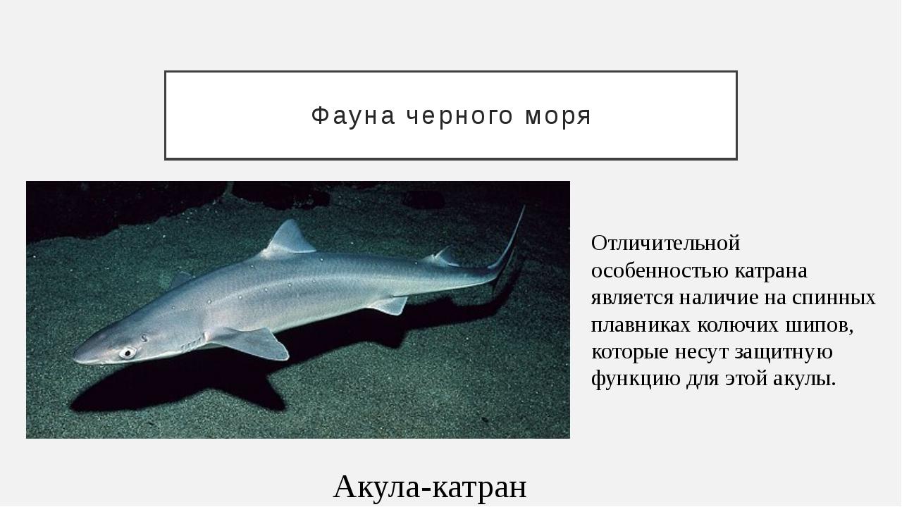 Фауна черного моря Акула-катран Отличительной особенностью катрана является н...