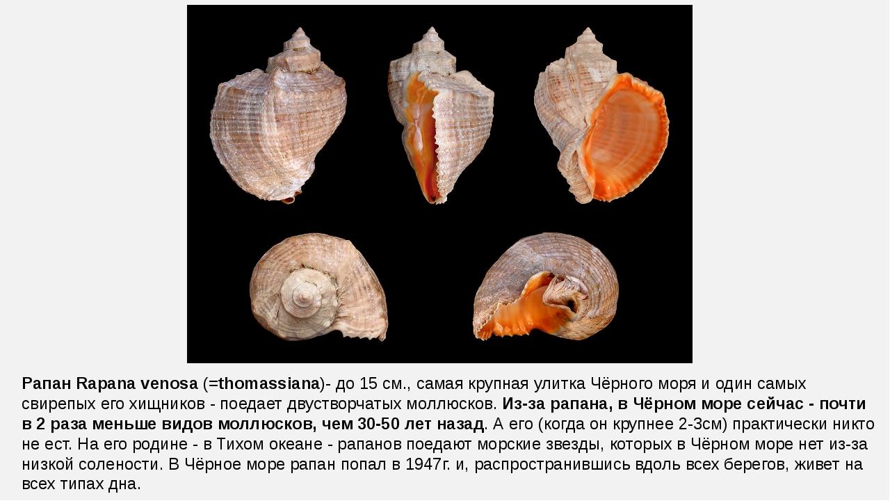 Рапан Rapana venosa (=thomassiana)- до 15 см., самая крупная улитка Чёрного м...