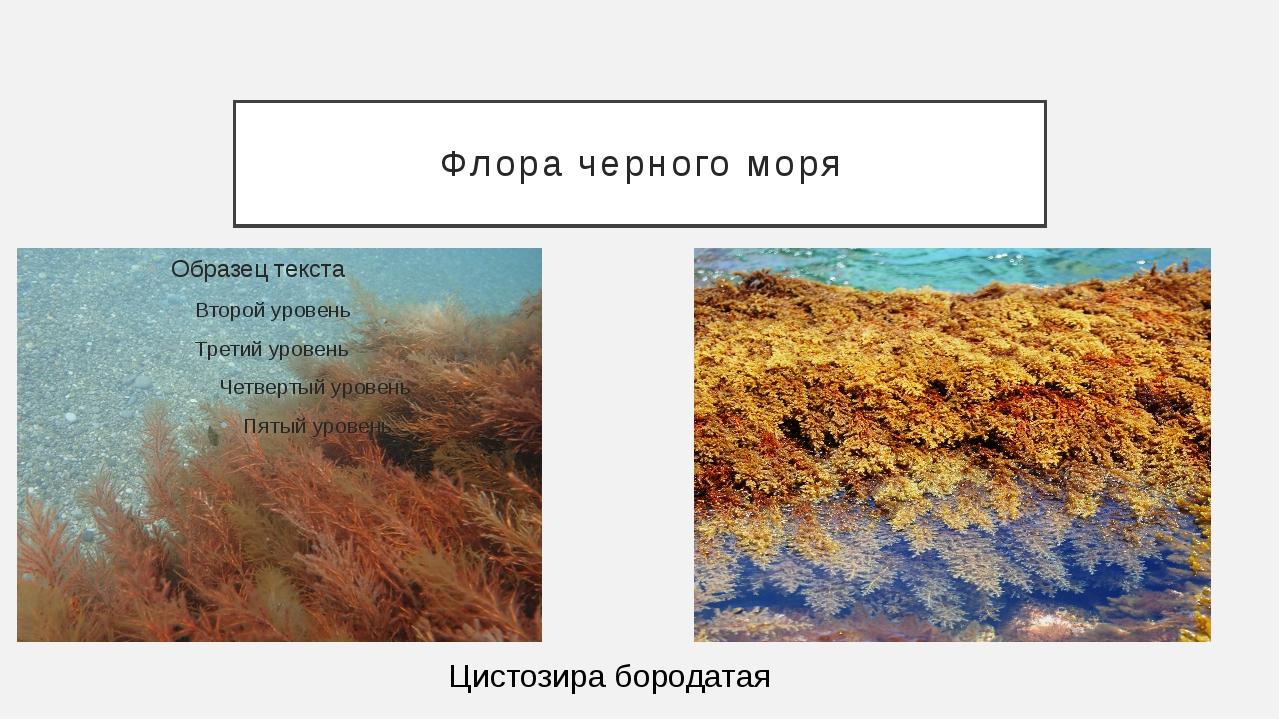 Флора черного моря Цистозира бородатая