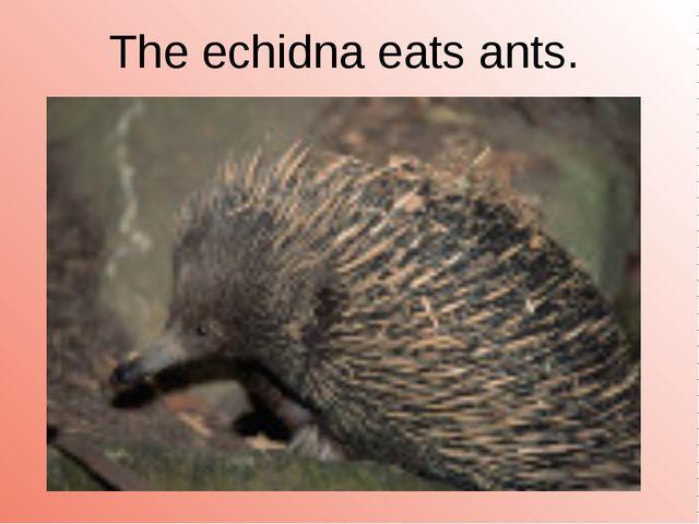 The echidna eats ants.