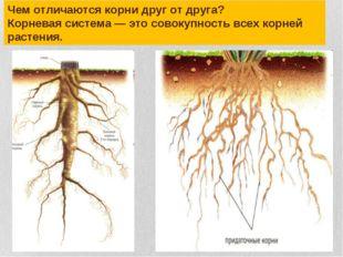 Чем отличаются корни друг от друга? Корневая система — это совокупность всех