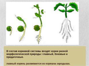 В состав корневой системы входят корни разной морфологической природы: главн