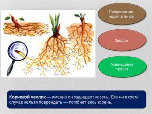 Корневой чехлик— именно он защищает корень. Его ни в коем случае нельзя повр