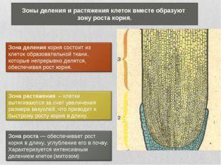 Зоны деления и растяжения клеток вместе образуют зону роста корня.