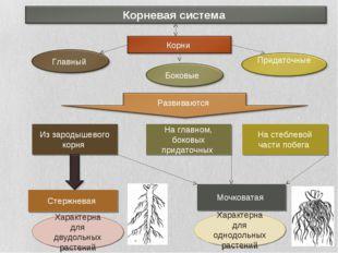 Из зародышевого корня На главном, боковых придаточных На стеблевой части побе