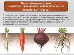 У двулетних растений (репы, петрушки, моркови) корень преобразуется в корнепл