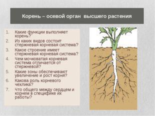Какие функции выполняет корень? Из каких видов состоит стержневая корневая си
