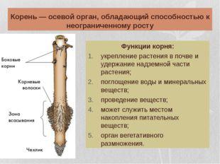 Корень — осевой орган, обладающий способностью к неограниченному росту Функци