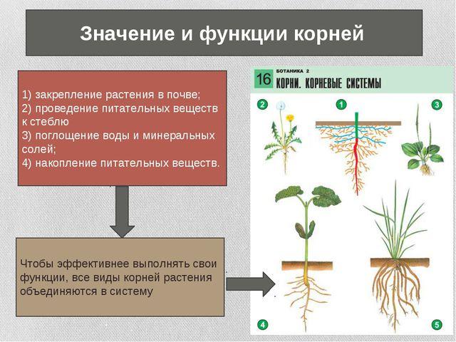 1) закрепление растения в почве; 2) проведение питательных веществ к стеблю 3...