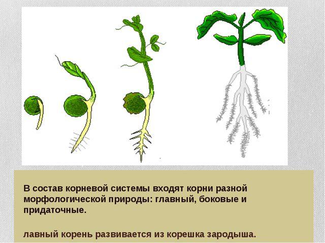 В состав корневой системы входят корни разной морфологической природы: главн...